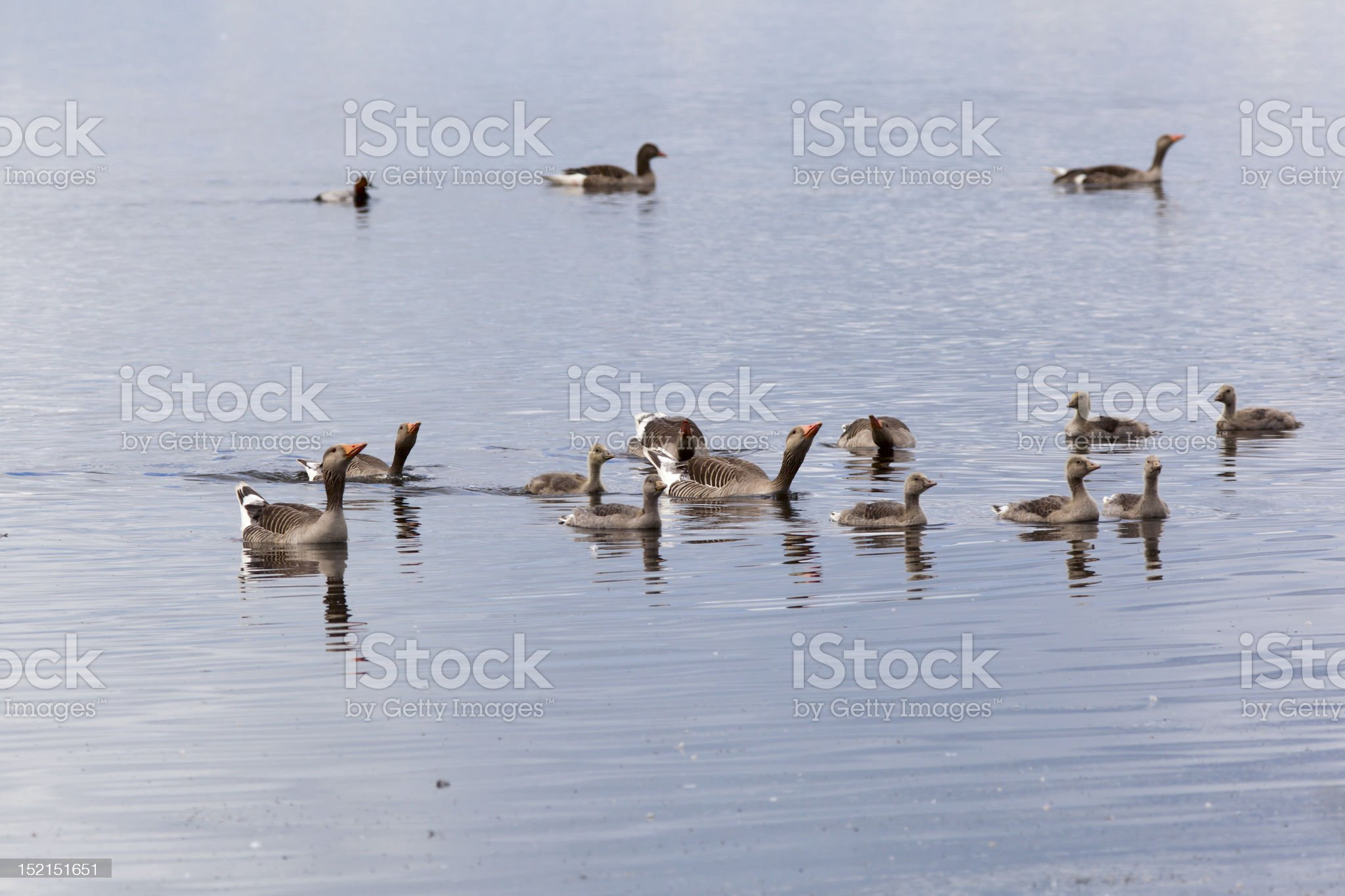 Greylag Goose swimming royalty-free stock photo
