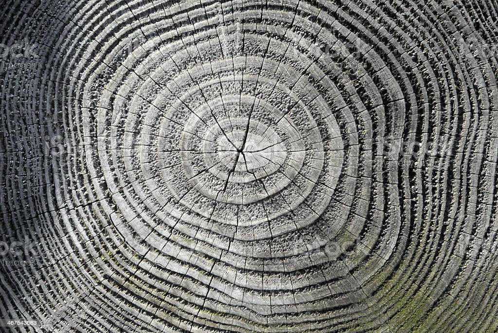 Greyscale view of tree rings with green moss discoloration stock photo