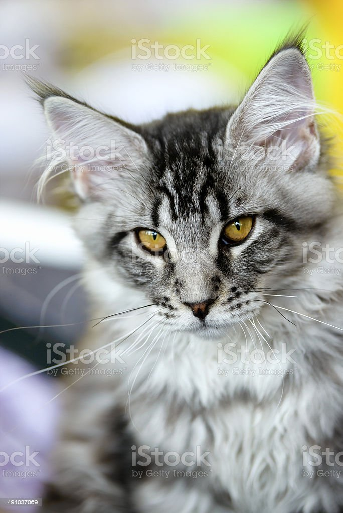 Grey-white tabby Maine Coon cat stock photo