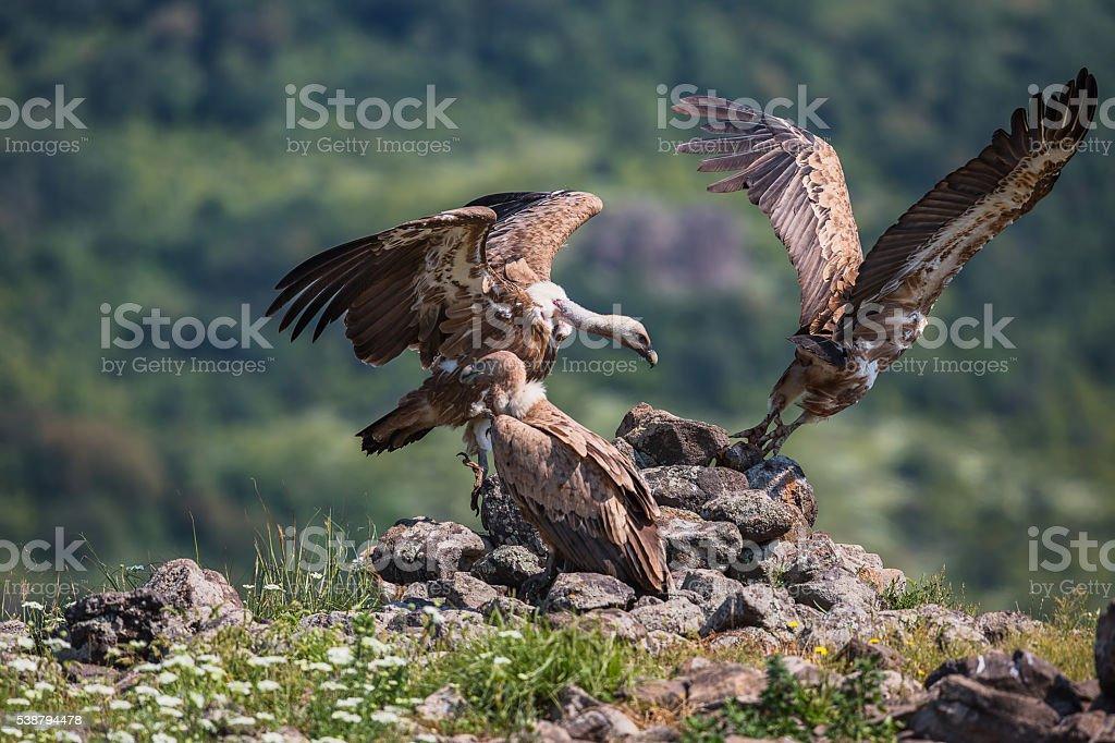 Griffin Vulture (Gyps fulvus),Wildlife Reserve,Bulgaria stock photo