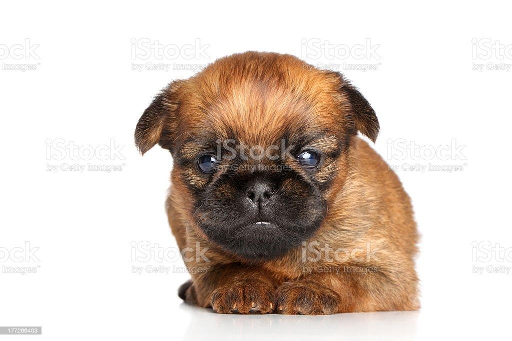 Griffon Bruxelles puppy on a white background stock photo