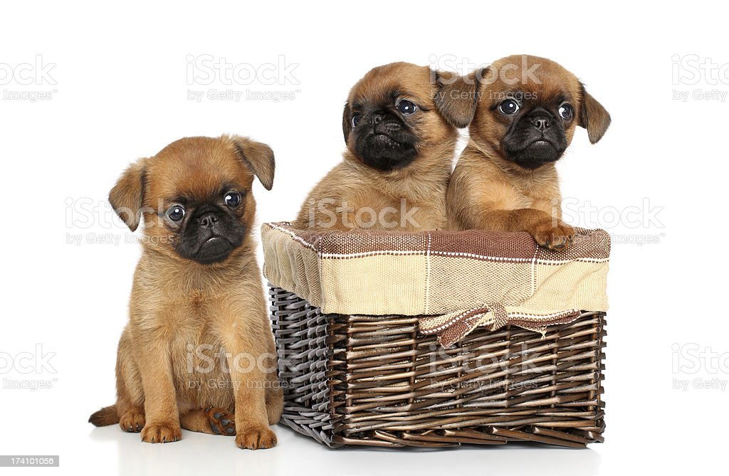 Griffon puppies on a white background royalty-free stock photo