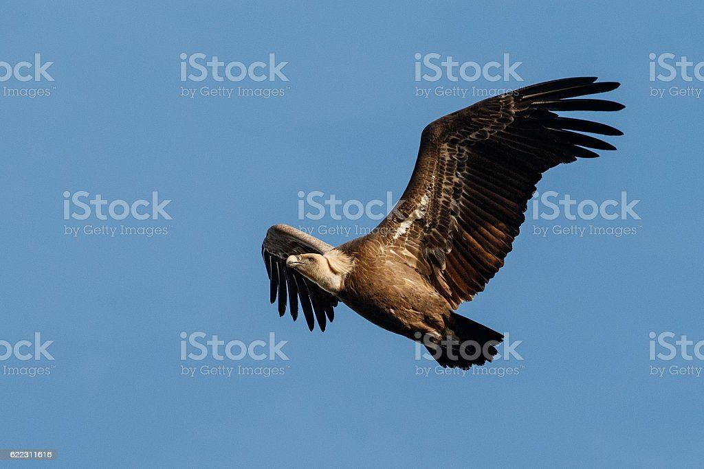Griffon vulture flying on the blue sky stock photo