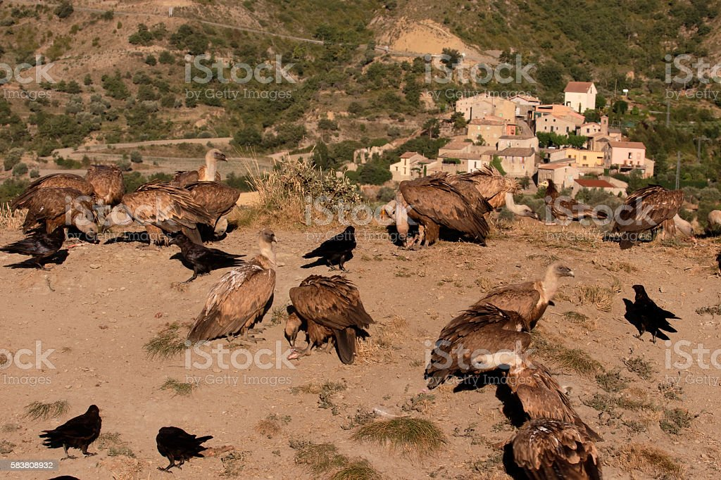 Griffon vulture, Gyps fulvus stock photo