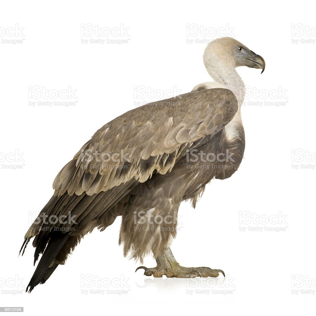 Griffon Vulture - Gyps fulvus stock photo