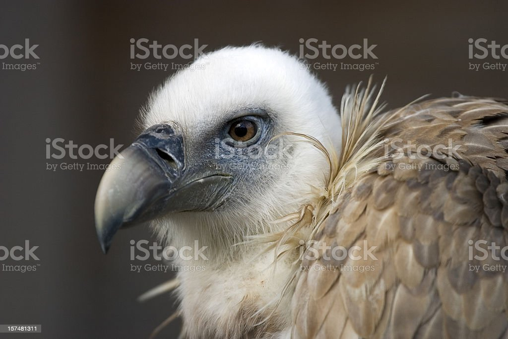 griffon vulture, gyps vulvus stock photo