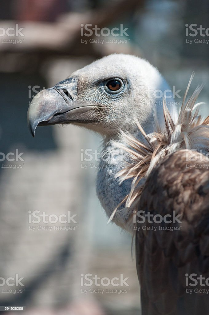 Griffon vulture head and neck stock photo