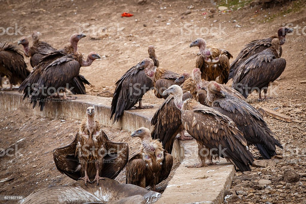 Griffon vulture in a detailed portrait stock photo