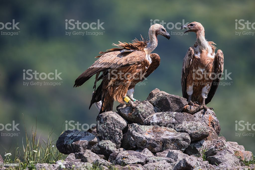 Griffon Vulture in a detailed portrait, standing on a rock stock photo