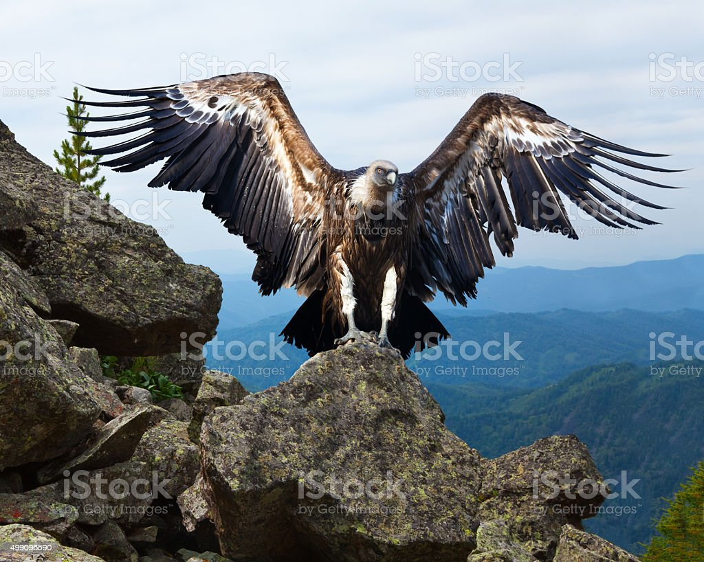 Griffon vulture   in wildness area stock photo