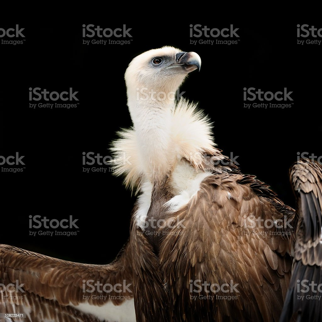 Griffon Vulture, Isolated on Black stock photo
