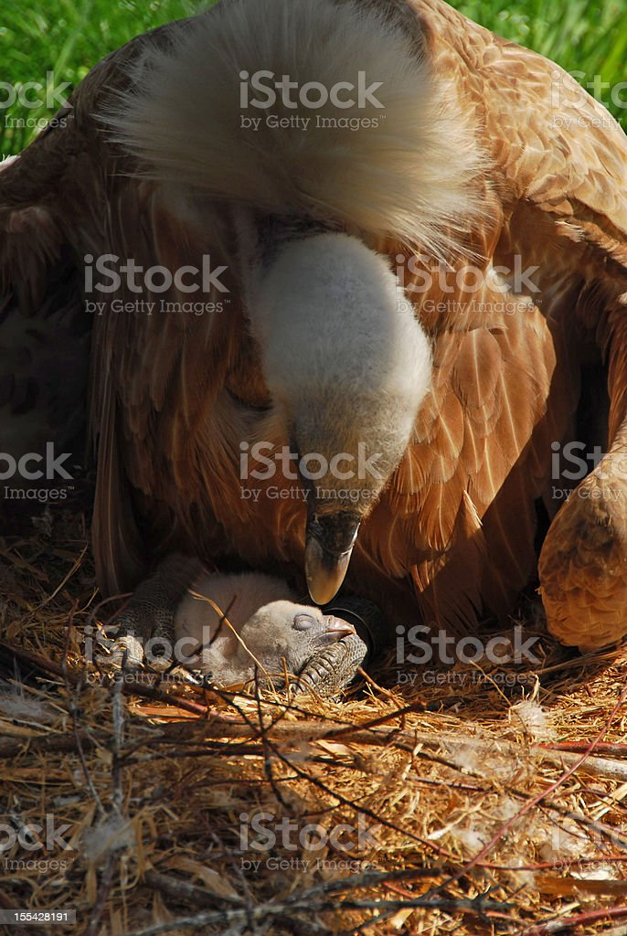 Griffon Vulture on bird`s nest stock photo