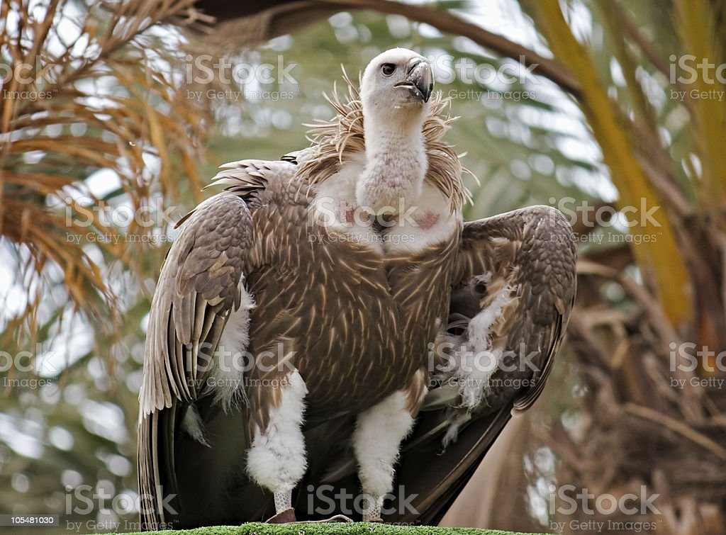 Griffon vulture stock photo