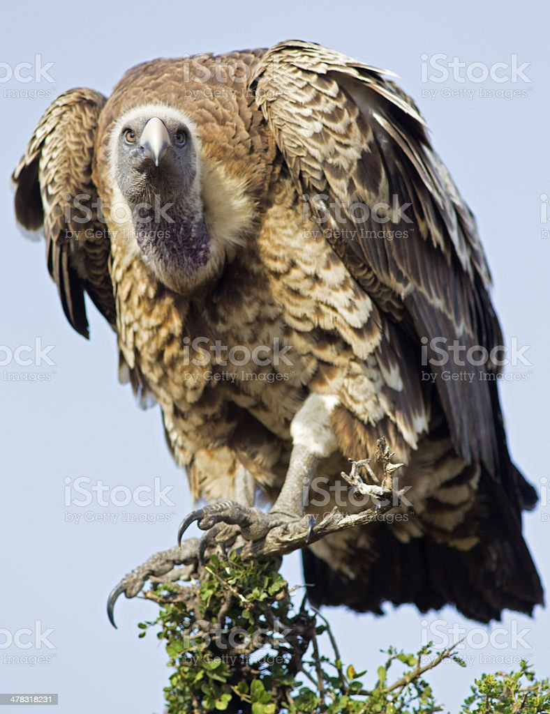 Griffon Vulture royalty-free stock photo