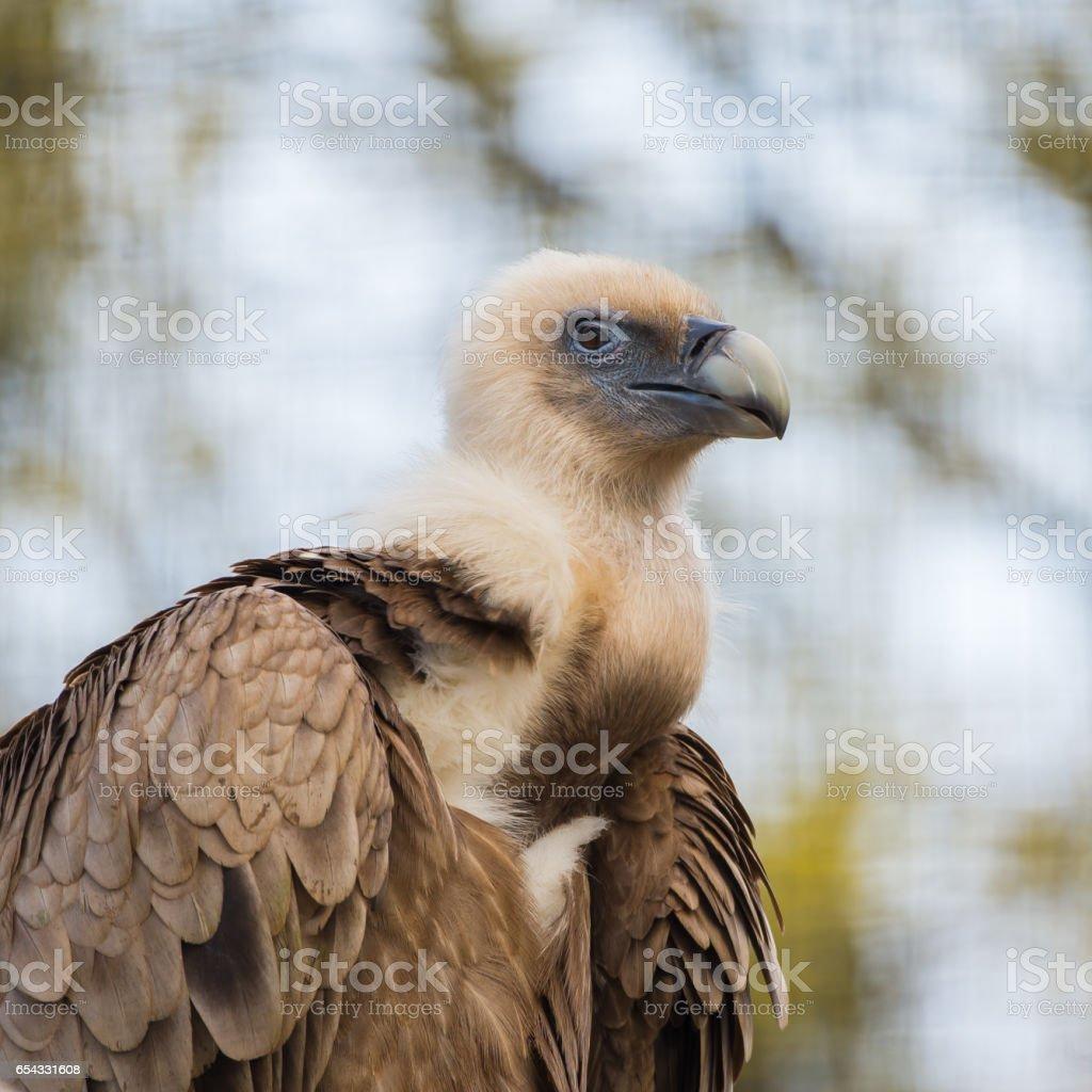 Griffon Vulture stock photo