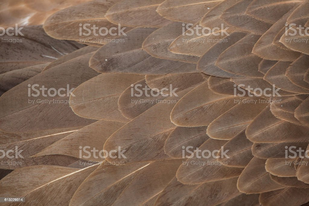 Griffon vulture (Gyps fulvus). Plumage texture stock photo