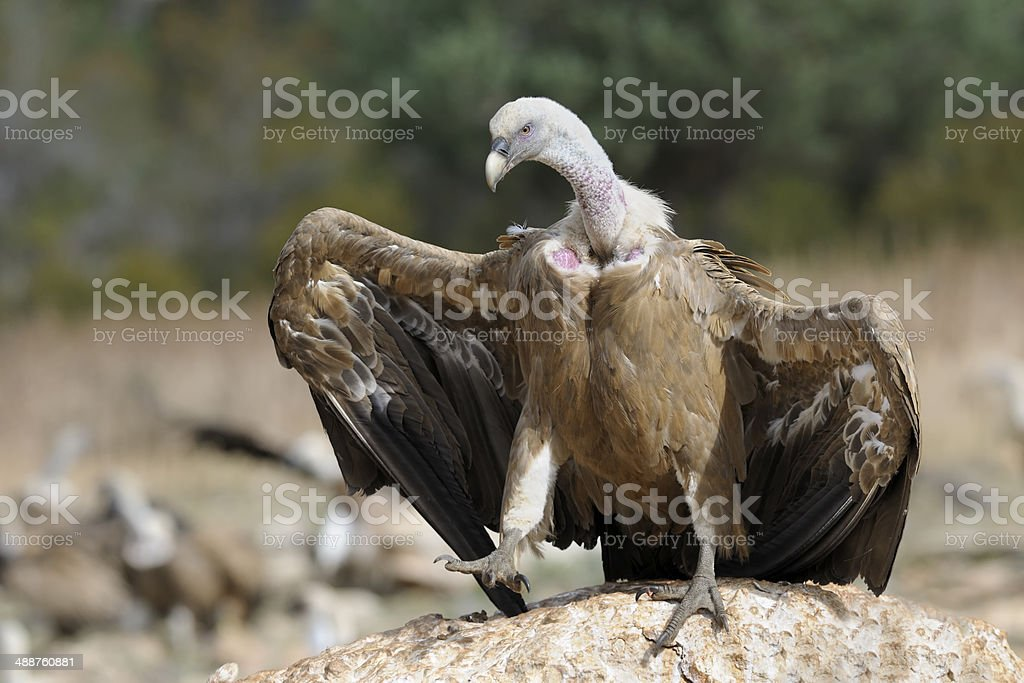 Griffon vulture standing on a rock stock photo
