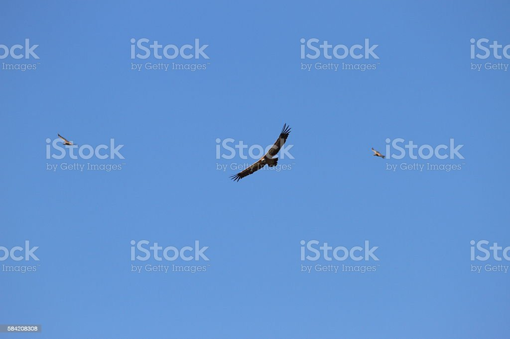 Griffon vultures flying stock photo
