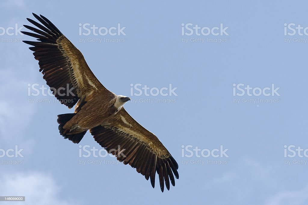 Griffon's Vulture stock photo