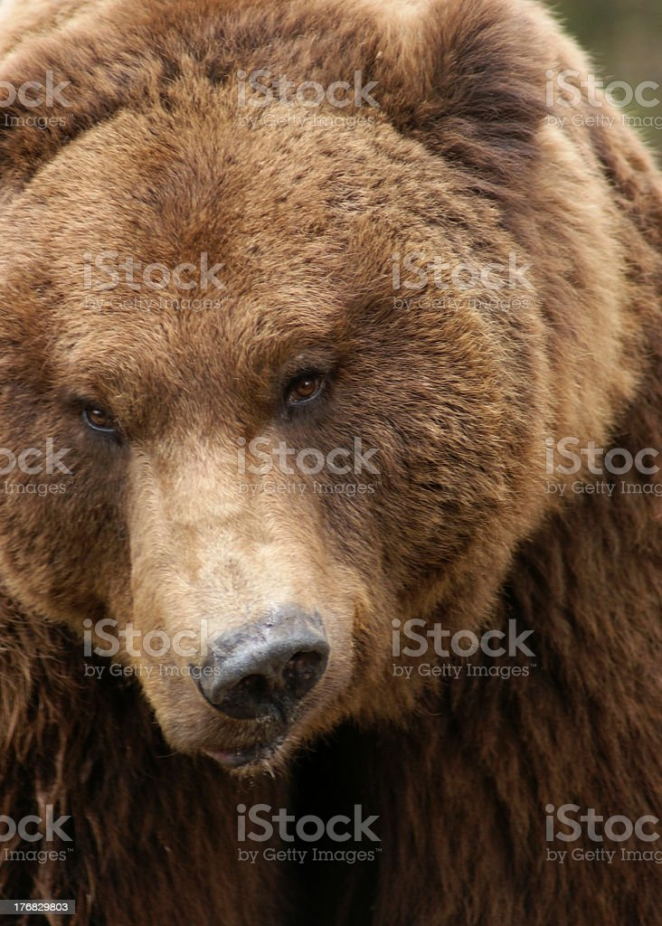 grimly Brown Bear stock photo