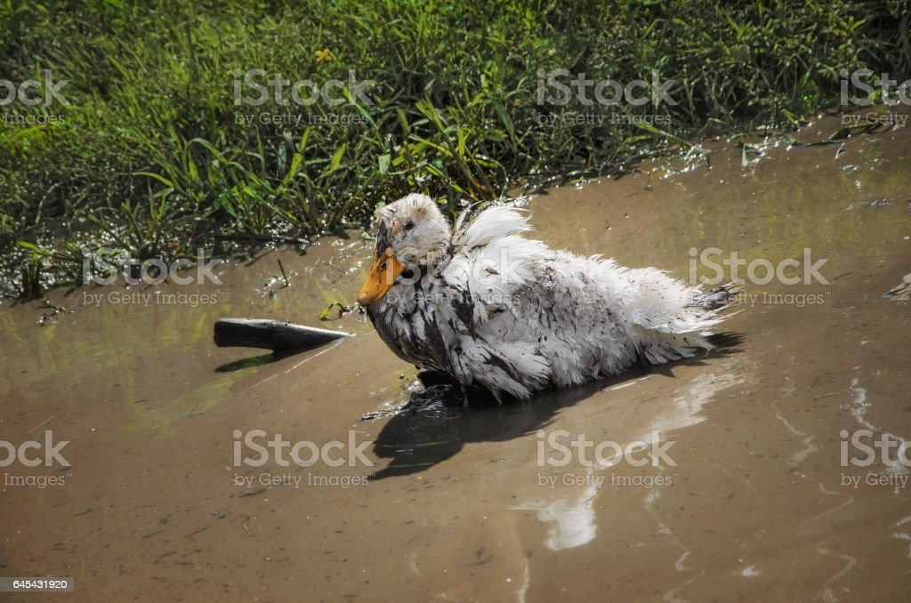 grimy duck swims in a muddy puddle stock photo