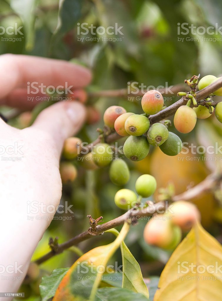 Gringa picking Coffee stock photo