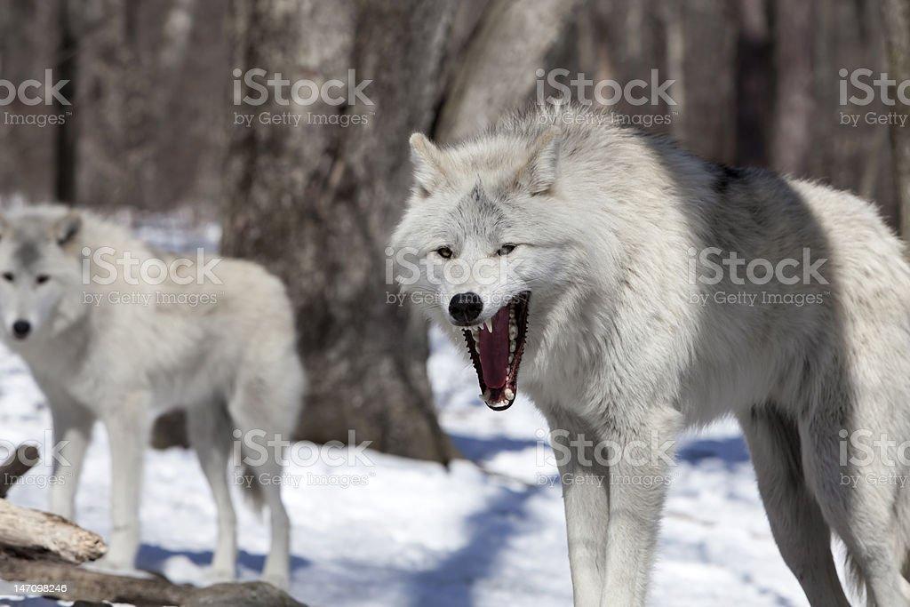 Grining wolf stock photo
