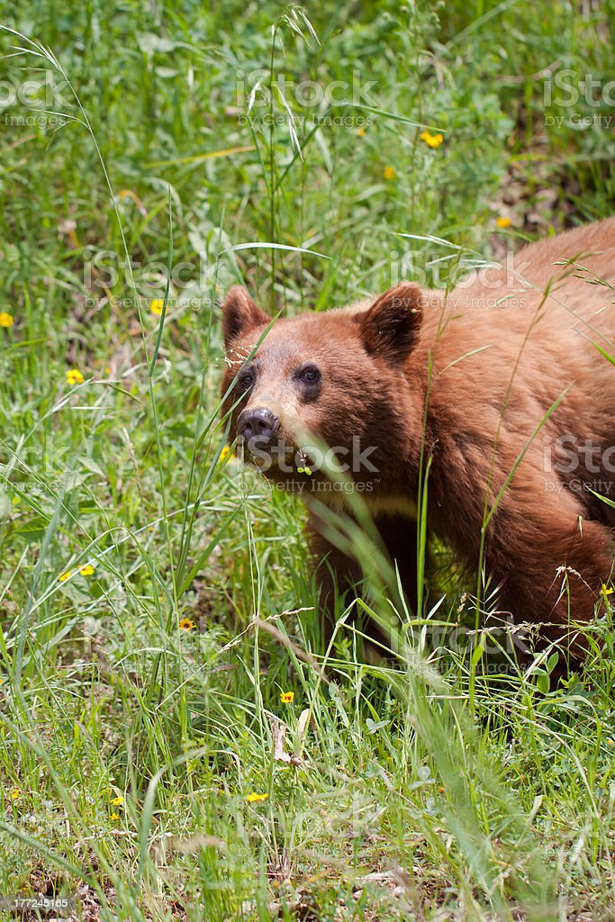 grisly bear in summer stock photo