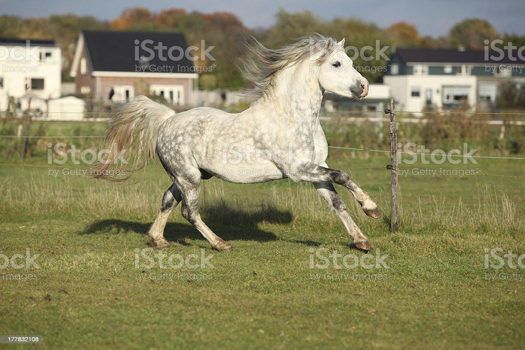 Grizlly welsh mountain pony stallion running stock photo