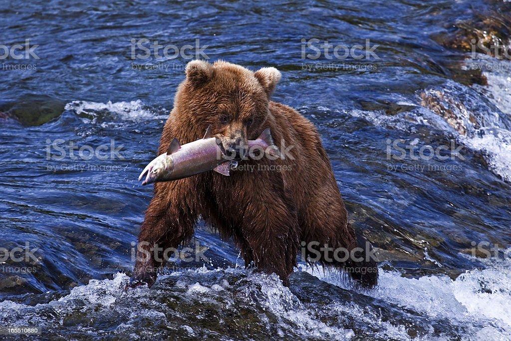 Grizly Bear at Alaska royalty-free stock photo