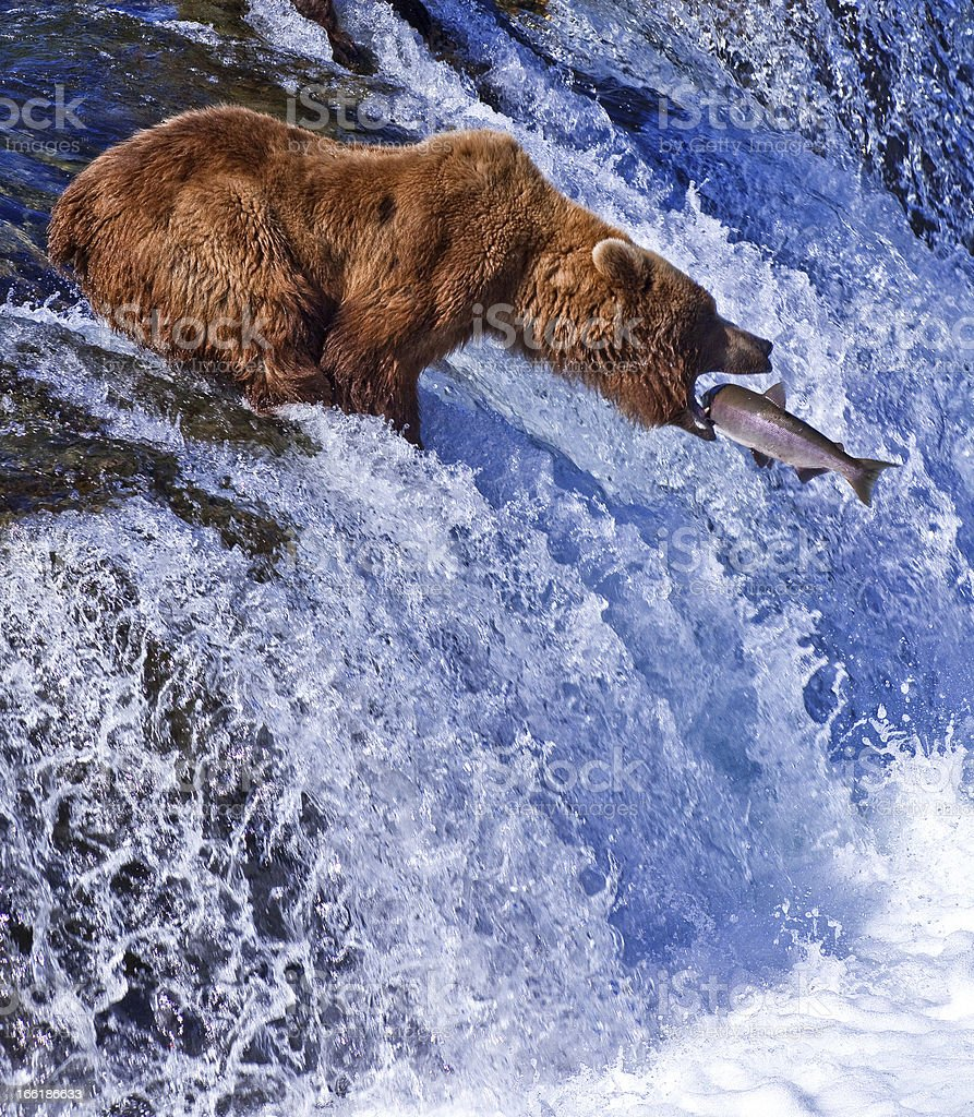 Grizly Bear at Alaska stock photo