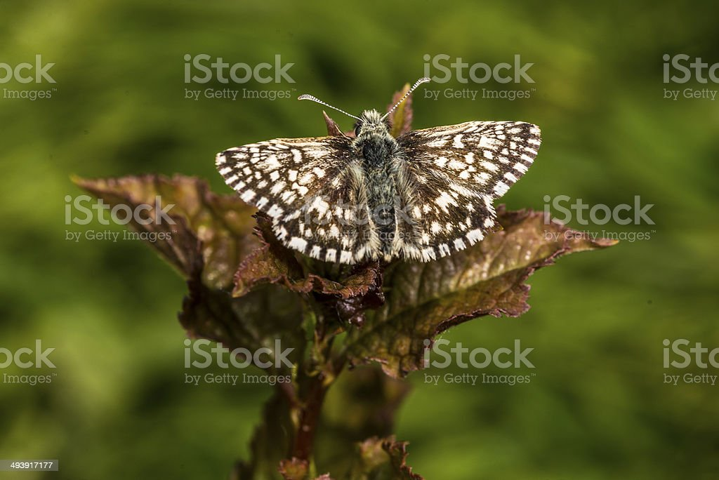 Grizzled Skipper Butterfly basking royalty-free stock photo