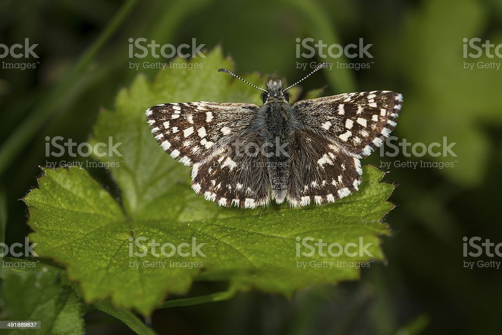 Grizzled Skipper Butterfly royalty-free stock photo