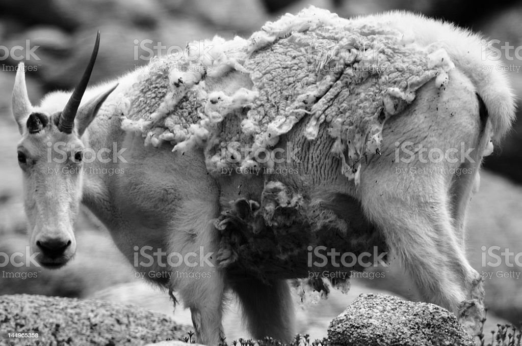 Grizzled Warrior stock photo