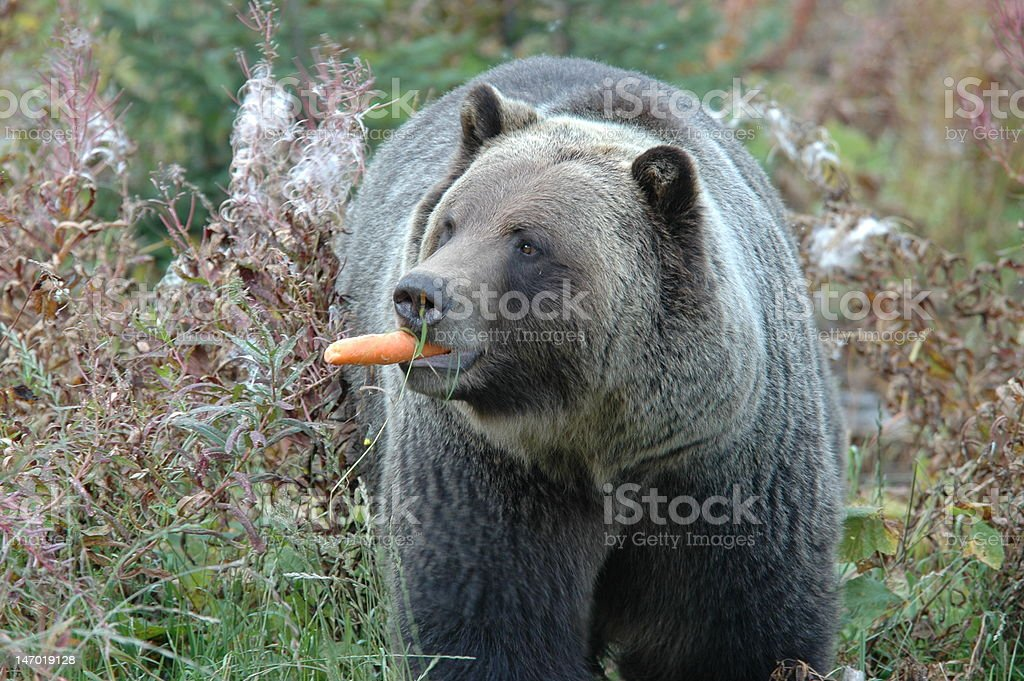 Grizzley Eating Carrot stock photo