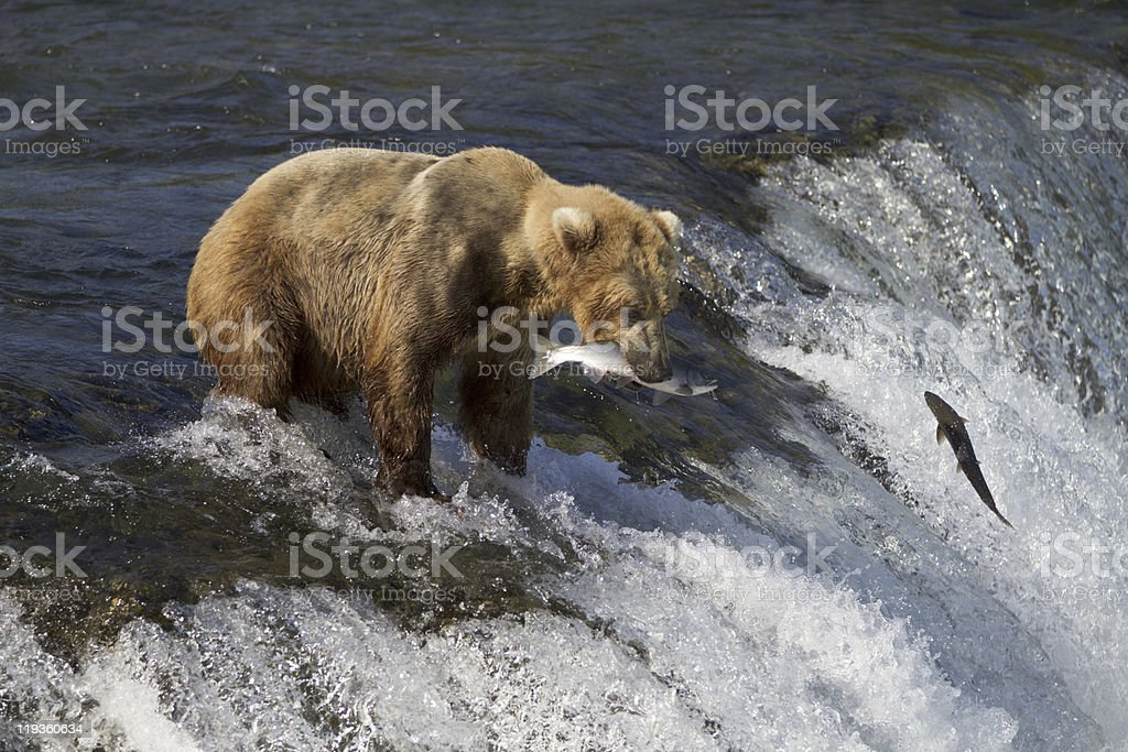 Grizzly Bear at river waterfall with a salmon in it's mouth stock photo