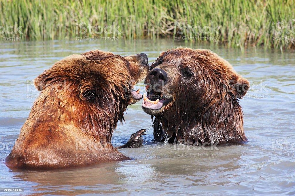 Grizzly Bear Carnivore Predators Water Fight stock photo