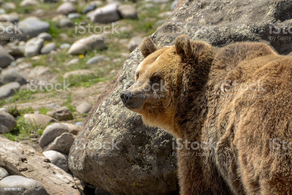 Grizzly bear closeup in rocky field stock photo