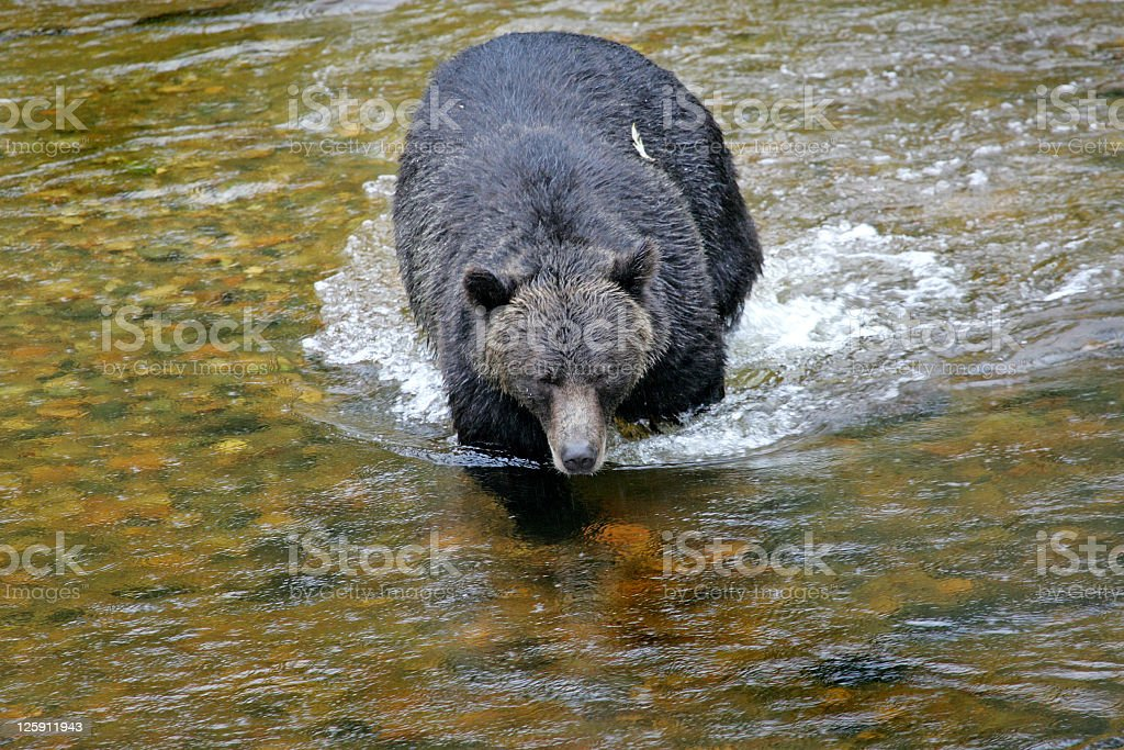 Grizzly Bear coming Upstream royalty-free stock photo