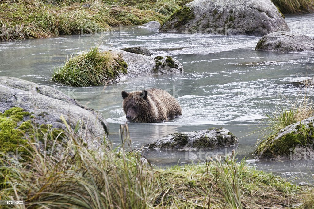 Grizzly Bear Cub Fishing On Chilkat River royalty-free stock photo