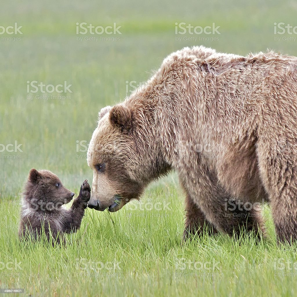 Grizzly Bear Cub Stops Mother Grizzly stock photo