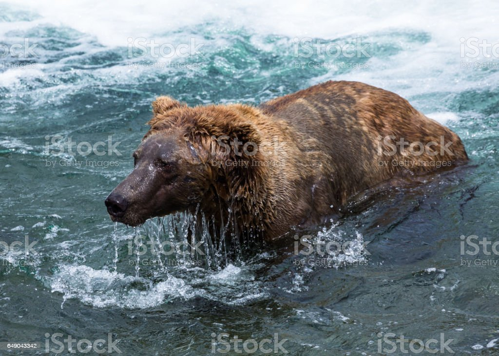 Grizzly bear dripping wet face stock photo