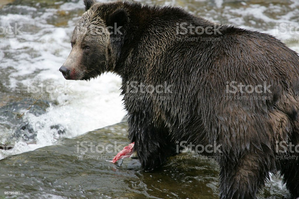 Grizzly Bear eating a salmon stock photo