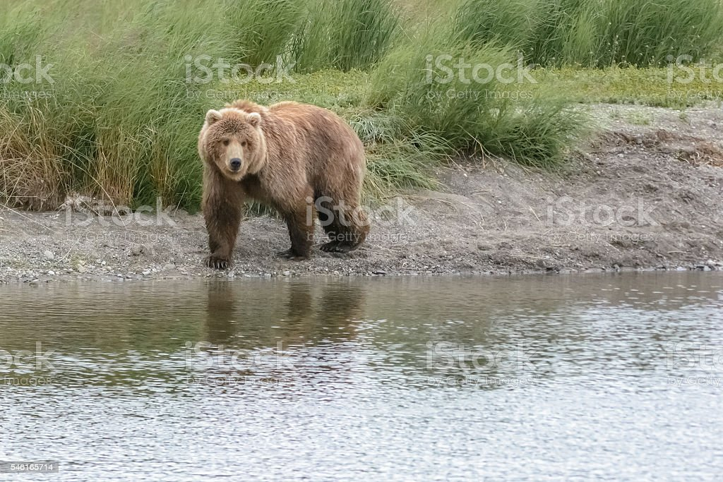 Grizzly bear emerges from the beach Brook Falls, Alaska stock photo