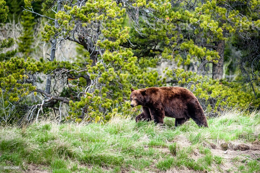 Grizzly bear encounter 2 stock photo