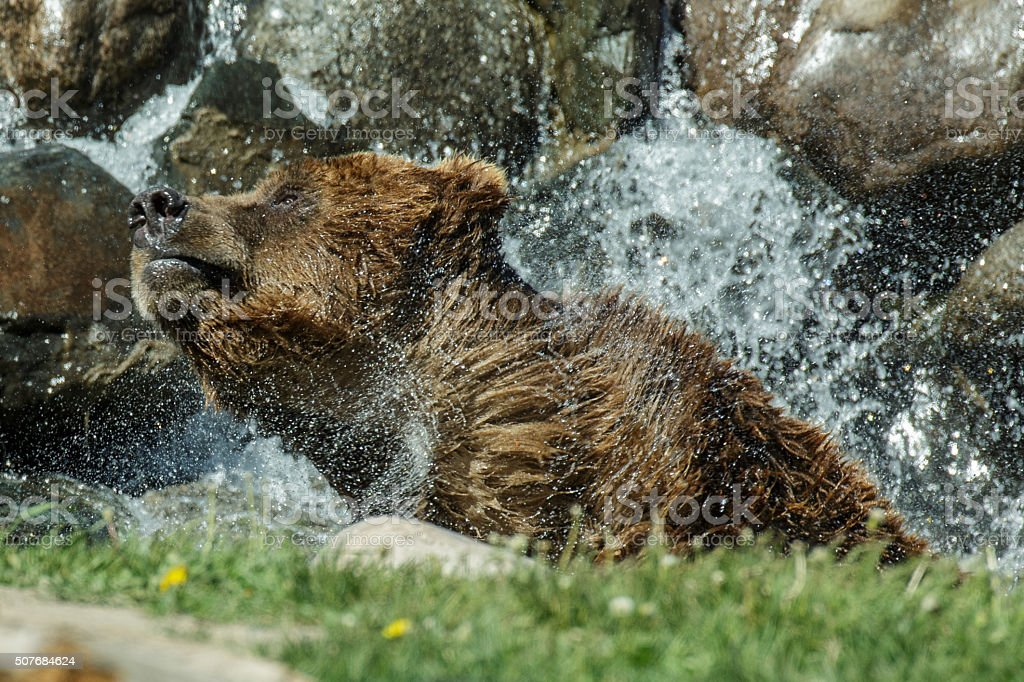 Grizzly Bear enjoying the sun and water. stock photo