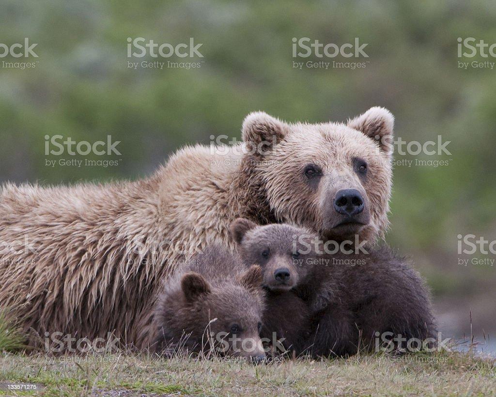 Grizzly bear family portrait stock photo