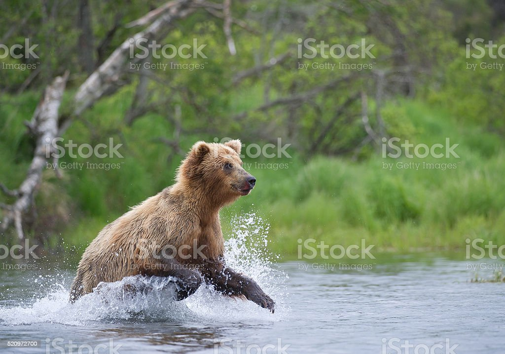 Grizzly bear fishing in the river stock photo