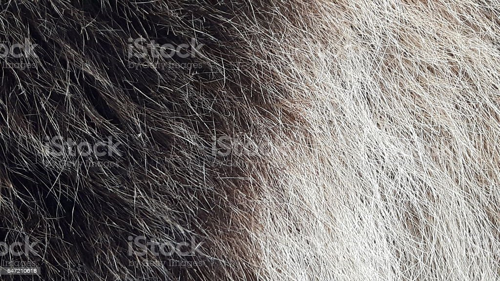 Grizzly bear grizzled fur stock photo