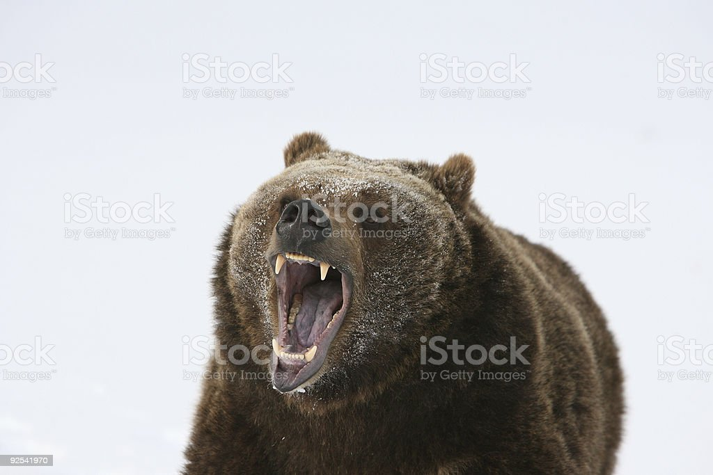 Grizzly Bear Growling stock photo